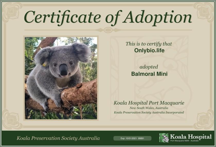 adoptuje koalę